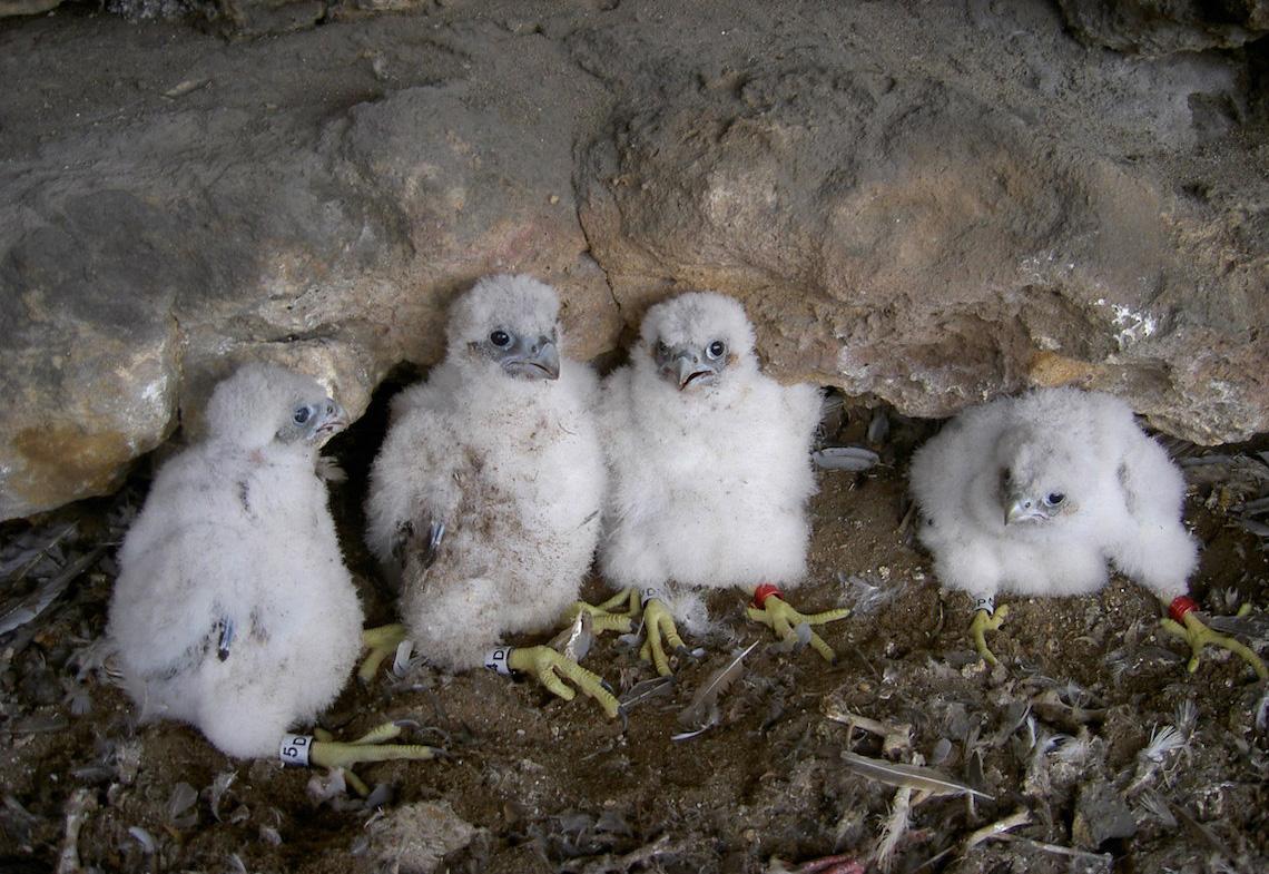 Vier junge Wanderfalken im Nest.
