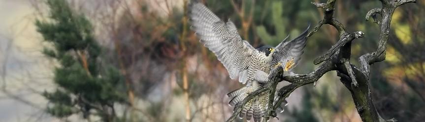 Ein Falke im Anflug.