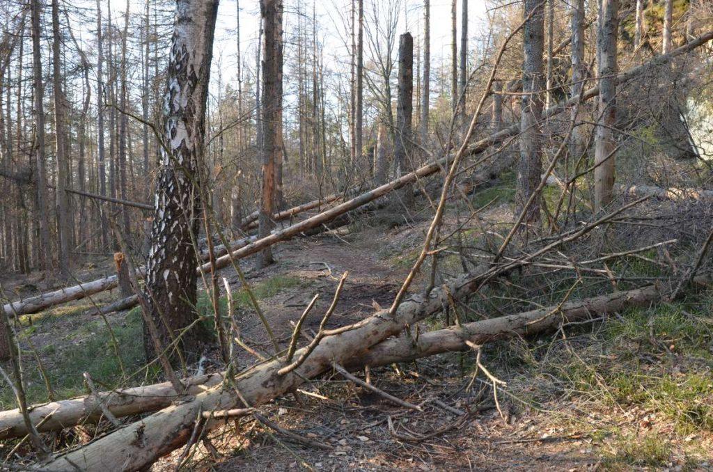 Umgefallene Bäume in den Bärenfangwänden.