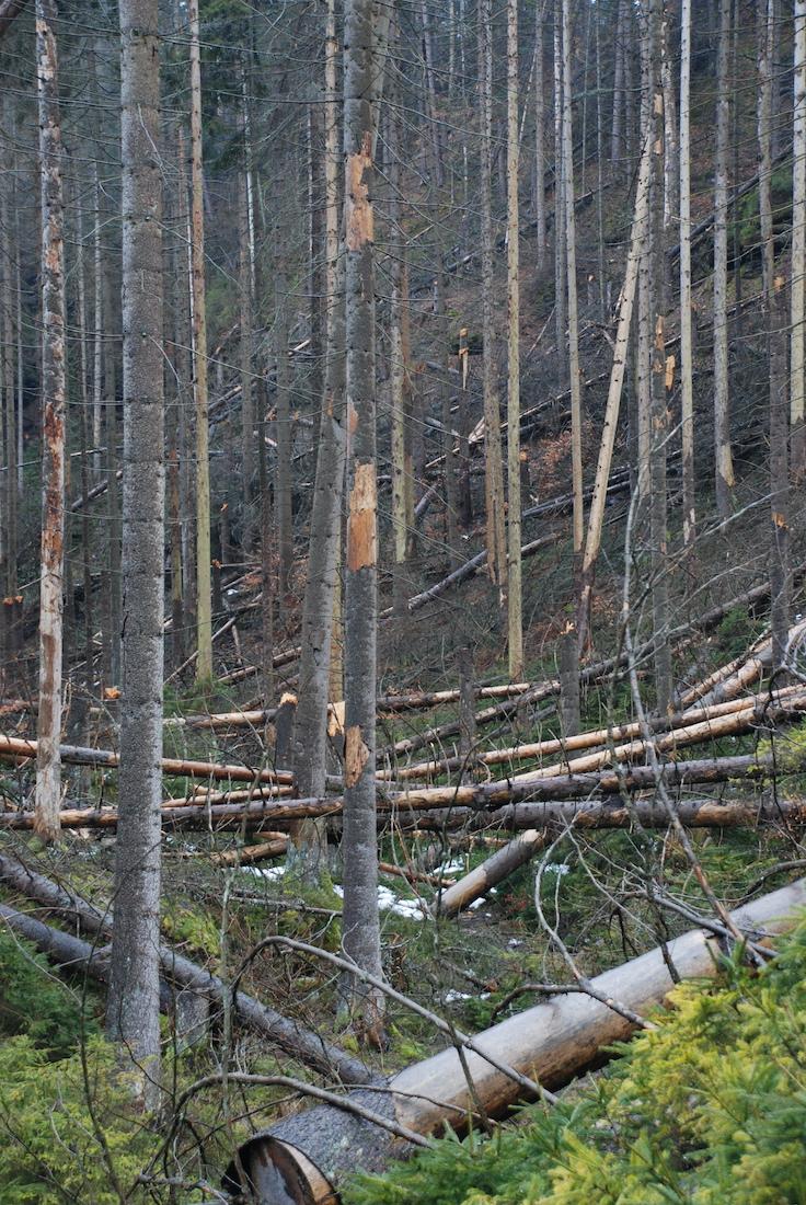 Umgefallene Bäume am Eingang der Weberschlüchte.